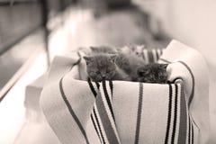 Nettes Gesicht, eben getragenes Kätzchenmiauen lizenzfreie stockfotografie