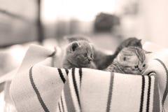 Nettes Gesicht, eben getragenes Kätzchenmiauen lizenzfreie stockbilder