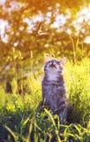 Nettes gestreiftes Kätzchen, das einen Fliegenschmetterling auf einem Sommer gree aufpasst stockfoto