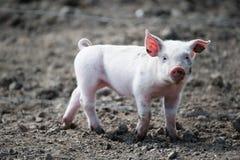 Nettes glückliches Schätzchenschwein Stockfoto