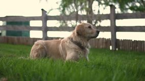Nettes golden retriever, das in das Gras legt stock video