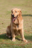Golden retriever Stockfotos