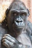 Nettes Gorillaporträt, das aus den Grund am Zoo sitzt Stockbilder
