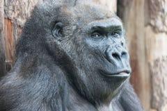 Nettes Gorillaporträt, das aus den Grund am Zoo sitzt Stockbild