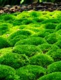 Nettes grünes Moos morgens Stockbild