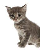 Nettes graues Kätzchen auf weißem Hintergrund lizenzfreie stockfotografie