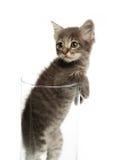 Nettes graues Kätzchen in einem Glas lizenzfreie stockfotografie