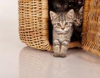 Nettes graues Kätzchen im Picknickkorb lizenzfreie stockfotos