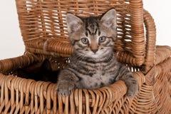 Nettes graues Kätzchen im Picknickkorb stockfotografie