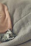 Nettes graues Kätzchen Schlafens auf dem Bett Schottische Katze mit Hängeohren Stockbilder