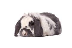 Nettes graues und weißes Häschen-Kaninchen, das sich hinlegt stockfotos