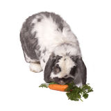 Nettes Häschen-Kaninchen, das unten verbiegt, um Karotte zu essen lizenzfreies stockbild