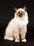 Nettes hübsches Ragdoll Kätzchen auf schwarzem Hintergrund Stockbilder