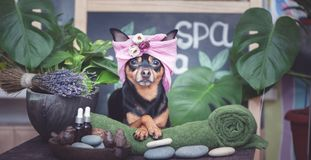 NettesHaustier Â, das in Badekurort Wellness sich entspannt Hund in einem Turban eines Tuches unter den Badekurortsorgfalteinzel stockfotografie