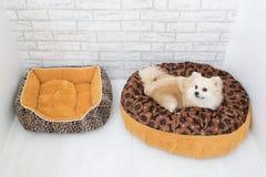 Nettes Haustier im Haus, Pomeranian Pflegenhund auf Bett zu Hause lizenzfreies stockfoto