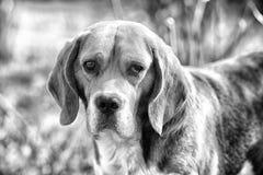 Nettes Haustier am sonnigen Tag Hund mit den langen Ohren auf dem Sommer im Freien Spürhundweg auf Frischluft Begleiter oder Freu stockbild