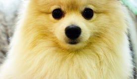 Nettes Haustier, weißer pomeranian Hund des Nahaufnahmegesichtes Lizenzfreie Stockfotos