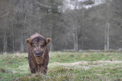 Nettes Hochland-Kuh-Baby Lizenzfreies Stockfoto