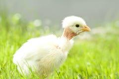 Nettes Huhn auf grünem Gras Stockfoto