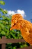 Nettes Huhn mit Haube draußen Stockfoto