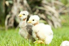 Nettes Huhn thegreen an Gras Lizenzfreies Stockfoto