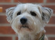 Nettes Hundeportrait Lizenzfreies Stockfoto