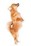 Nettes Hundespringen Lizenzfreie Stockfotos