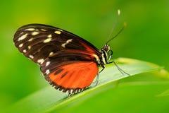 Nettes Insekt von Costa Rica im grünen Waldschmetterling, der auf dem Urlaub von Panama sitzt Schmetterling mit Klingelnblume wil lizenzfreie stockfotografie
