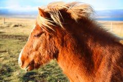 Nettes isländisches Pferd, das im Wind steht Stockbilder