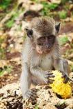 Nettes Junges eines Affen isst Kornähre Stockbilder