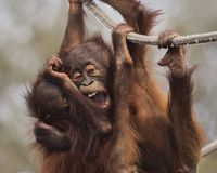 Nettes junges Orang-Utans Hangin-` heraus Lizenzfreie Stockfotos