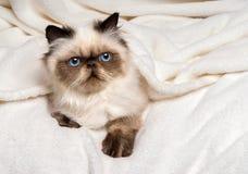 Nettes junges persisches Dichtung colourpoint Kätzchen, das auf einem weichen Bett liegt Lizenzfreie Stockfotos