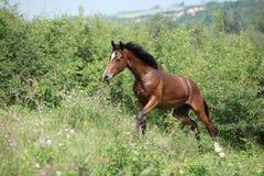 Nettes junges Pferd, das aufwärts läuft stockbilder