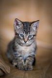 Nettes Kätzchen Lizenzfreie Stockbilder