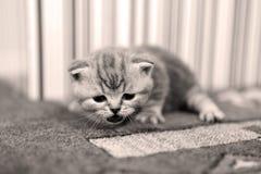 Nettes Kätzchen Britisch Kurzhaar Lizenzfreie Stockbilder