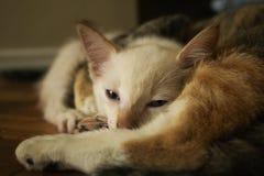 Nettes Kätzchen, das nachdem dem Spielen mit anderer Katze schläft stockfotografie