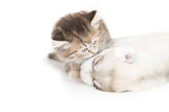 Nettes Kätzchen, das Welpen küsst Lizenzfreies Stockfoto