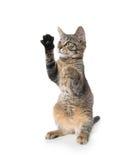 Nettes Kätzchen der getigerten Katze auf Hinterbeinen Lizenzfreies Stockfoto