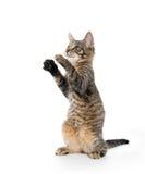Nettes Kätzchen der getigerten Katze auf Hinterbeinen Lizenzfreie Stockbilder