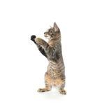 Nettes Kätzchen der getigerten Katze auf Hinterbeinen Stockbild