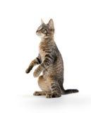 Nettes Kätzchen der getigerten Katze auf Hinterbeinen Lizenzfreies Stockbild