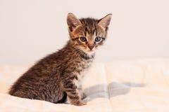 Nettes Kätzchen der getigerten Katze auf weichem elfenbeinfarbenem Deckbett Stockfotos