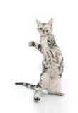 Nettes Kätzchen der getigerten Katze, das auf Hinterbeinen steht lizenzfreie stockfotografie