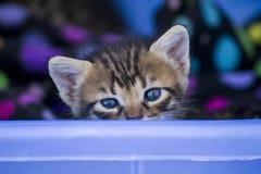 Nettes Kätzchen mit den blauen Augen, die über Korb schauen Stockbilder