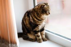 Nettes K?tzchen mit H?ngeohren schaut heraus das Fenster Nahaufnahme lizenzfreie stockfotos