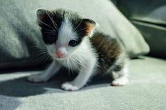 Nettes Kätzchen mit Schwarzweiss-Muster sitzen auf Sofa Stockfotos