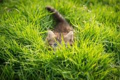 Nettes Kätzchenverstecken der getigerten Katze Stockbilder