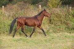 Nettes kabardin Pferd, das in Herbst läuft Stockfotografie