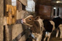 Nettes Kalb auf dem Bauernhof lizenzfreie stockfotos