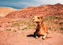Nettes Kamel in der Wüste lizenzfreies stockfoto